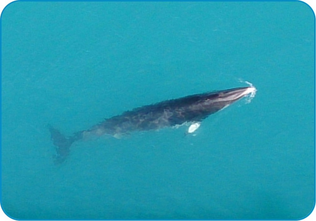 Minke whale (Balaenoptera acutorostrata) around the legs of an oil and gas installation